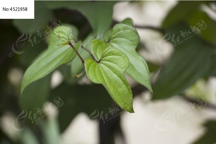 原创摄影图 动物植物 树木枝叶 山药叶子  请您分享: 红动网提供树木