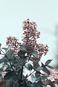 盛开的粉紫色小碎花
