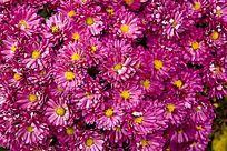 盛开的则色野菊花花丛