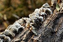 树皮上干枯的白色木耳