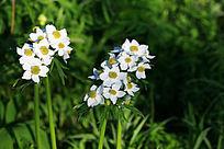 野生植物 二歧银莲花