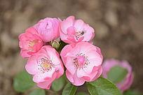 月季花品种安吉拉