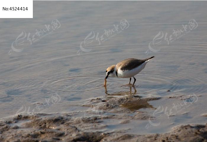 捉虫子的水鸟图片,高清大图_空中动物素材