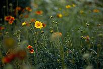 草丛里五颜六色的野菊花