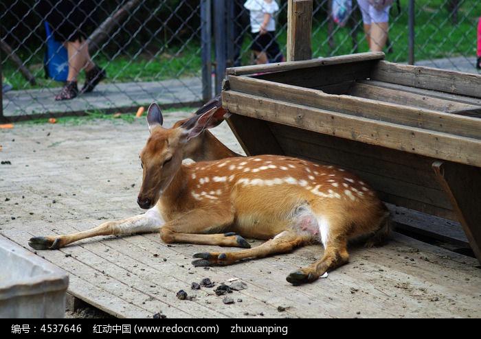 原创摄影图 动物植物 陆地动物 笼子里的梅花鹿  请您分享: 红动网