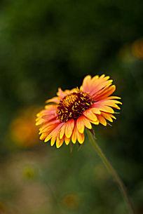 色彩娇艳的野菊花