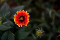 一朵鲜艳的野菊花