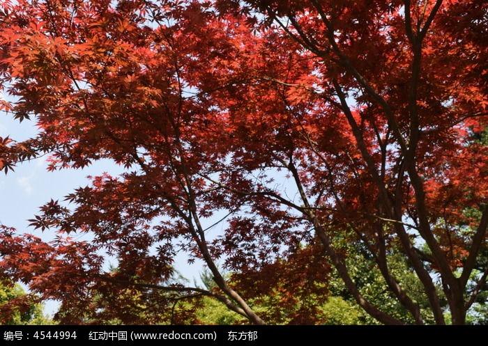 长满红叶子的树图片,高清大图