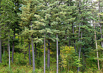红松原始森林