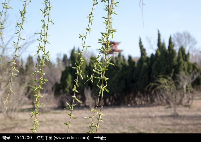 原创摄影图 动物植物 树木枝叶 柳树发芽  请您分享: 红动网提供树木