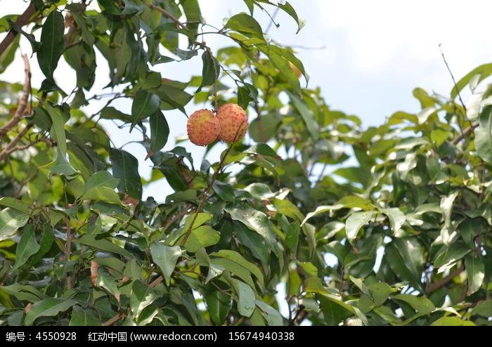 原创摄影图 动物植物 树木枝叶 荔枝树