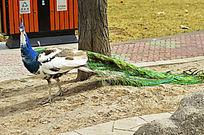 漫步白孔雀