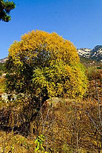 田野上的金黄色的大柳树