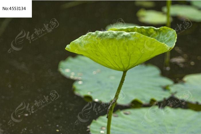 荷叶图片,高清大图_动物植物素材