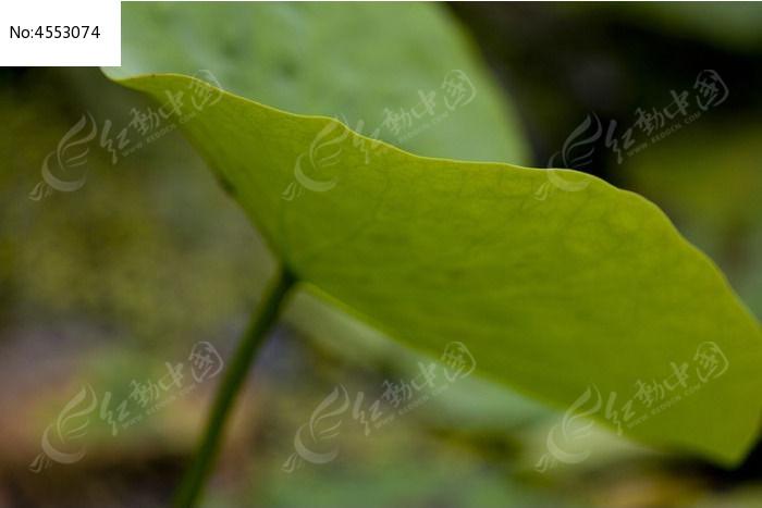荷叶特写图片,高清大图_动物植物素材