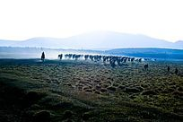 塞罕坝大草原转场的牧马群