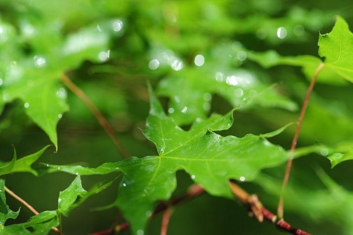 五角绿叶图片,高清大图_树木枝叶素材