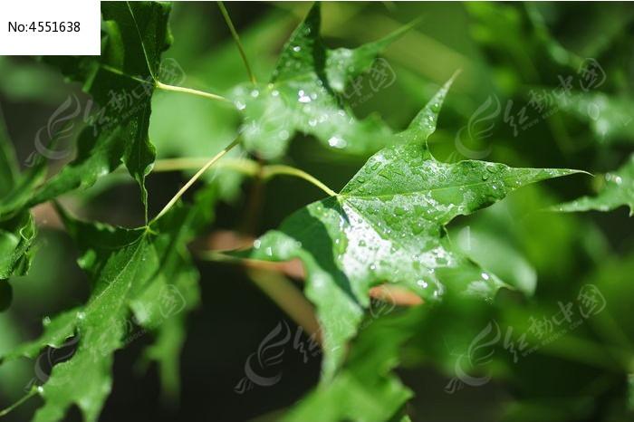五角树叶图片