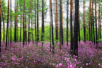 大兴安岭杜鹃森林