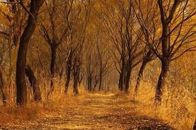 金色的柳树林道路美景