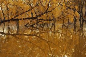 金色的柳树湾湿地美图