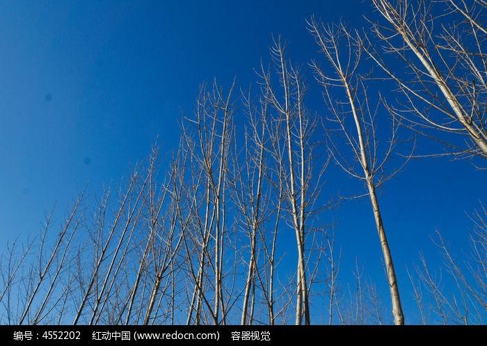蓝天下的杨树林图片