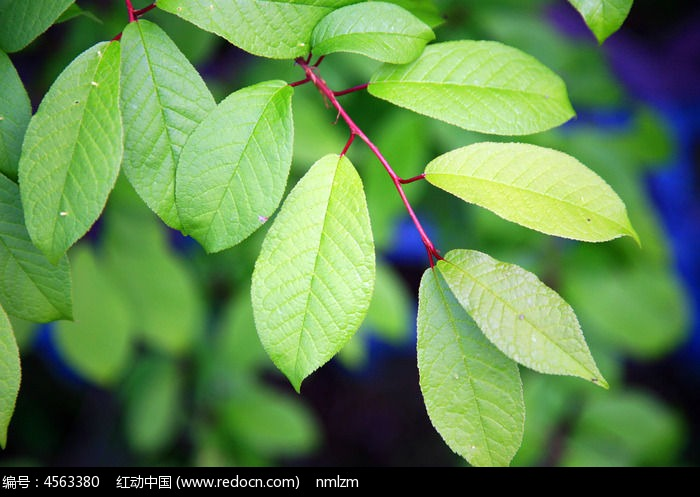 绿叶图片,高清大图_树木枝叶素材