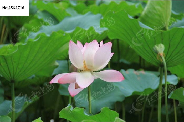 绿叶间的粉色荷花图片
