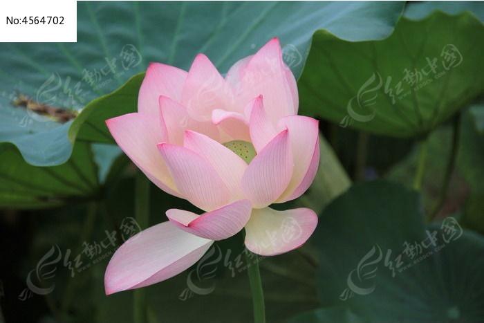 漂亮的粉色荷花图片