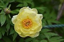 盛开黄色的小花