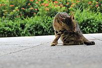 整理毛发的猫猫