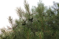 翠绿的松枝
