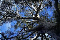 高质感拍摄粗壮的大树枝干