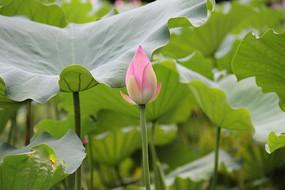 含苞待放的粉色荷花花蕾