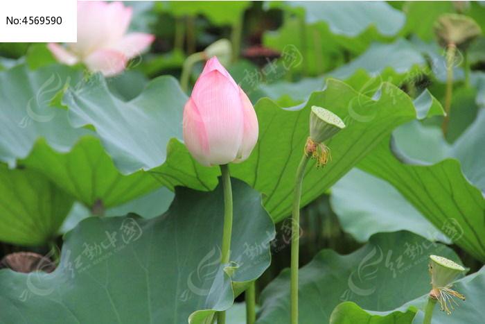 荷花花蕾和莲蓬图片