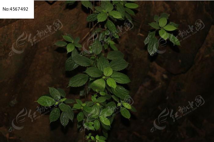 石头缝隙里的植物