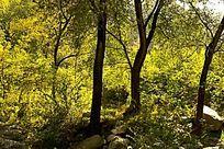 泰山丰富的林场树木