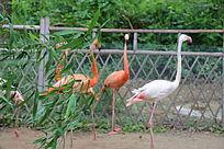围栏中的火烈鸟