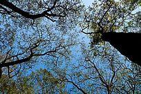 仰拍泰山林场的大树