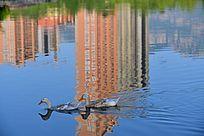 城市公园水面上的鸭子