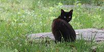 回眸的黑猫