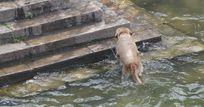 洗澡上岸的黄狗