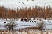 阿尔山林海雪原牧人和马群