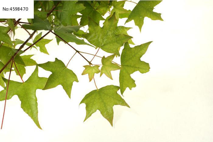 原创摄影图 动物植物 树木枝叶 白背景上的绿色高清枫叶