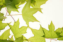 白色背景上的绿色枫叶叶脉大图