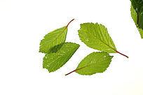 白色背景上的绿叶叶脉