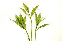 白色背景上的绿叶枝芽高清拍摄