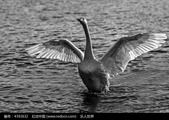 白天鹅黑白图像图片,高清大图
