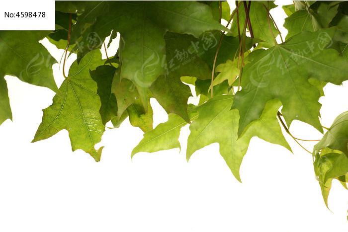 碧绿的风树叶子高清大图