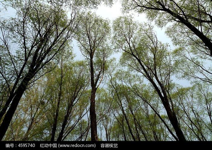 春天刚发芽的参天大树